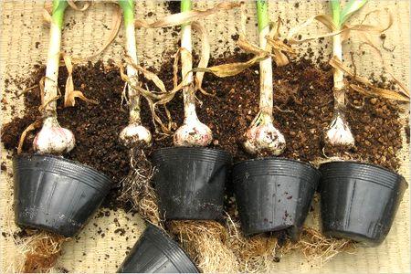 ニンニク栽培 収穫